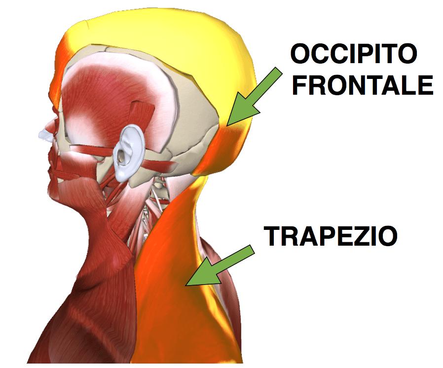 trapezio occipito frontale