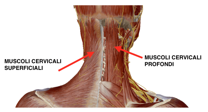muscoli cervicali