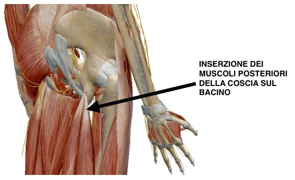 inserzione muscoli posteriori