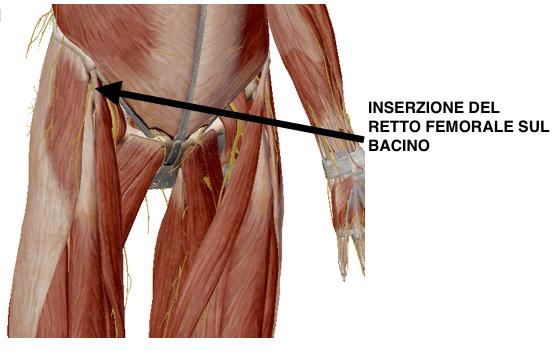 inserzione muscoli anteriori