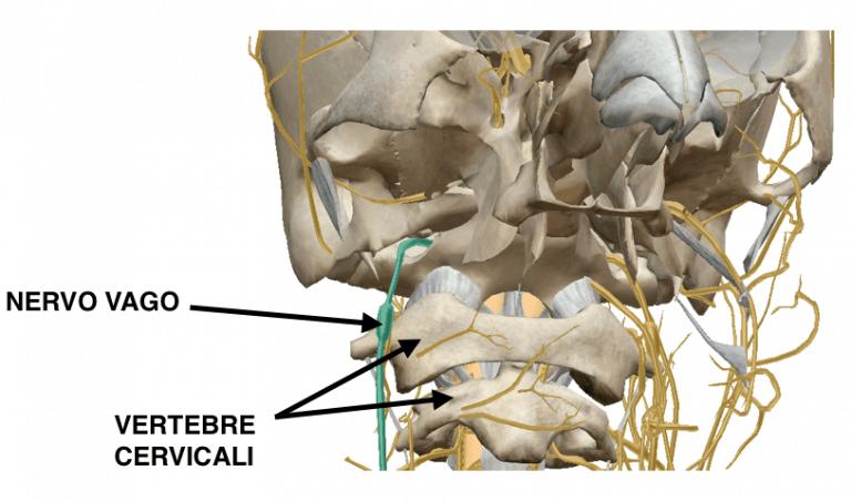 Nervo vago e vertebre cervicali