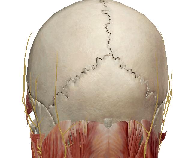 Nervi e mal di testa laterale da cervicale