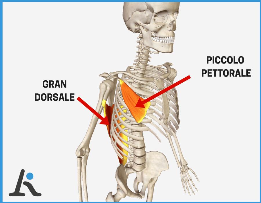 grafico sui muscoli più accorciati