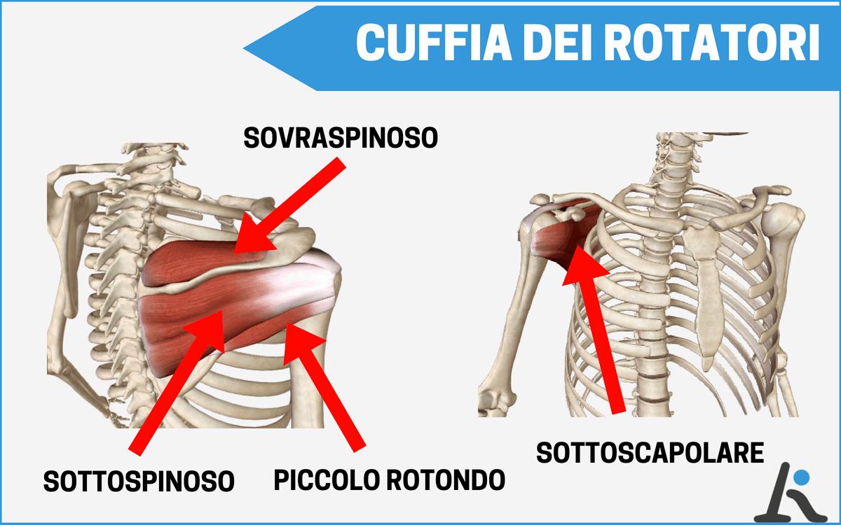 I muscoli della cuffia dei rotatori: sovraspinoso, sottospinoso, piccolo rotondo e sottoscapolare